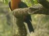 rufus-necked-hornbill